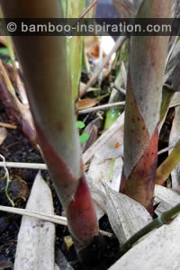 Phyllostachys edulis bamboo colourful new shoots