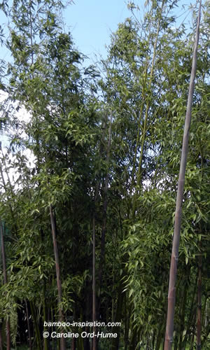 Clump of Phyllostachys parvifolia Bamboo Canes