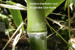 Phyllostachys parvifolia Node