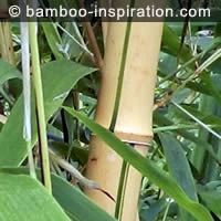 Phyllostachys vivax Aureocaulis yellow bamboo with random green stripes