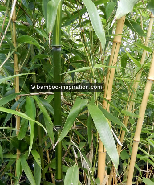 Phyllostachys vivax bamboo, green canes with yellow stripes, yellow canes with green stripes