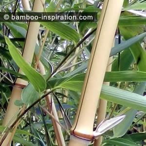 Phyllostachys vivax bamboo yellow canes green stripe