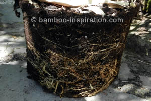 Plant bamboo from a container
