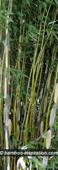 Pruning Old Culms from Bamboo Stand