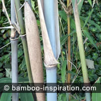 Old Bamboo Cane for Pruning