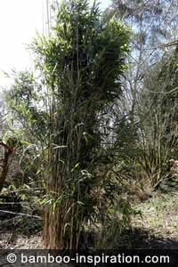 Pseudosasa bamboo clump