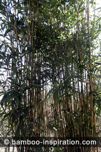 Pseudosasa japonica clumping bamboo screen density