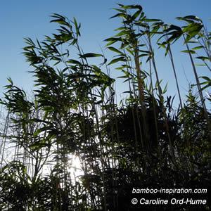Pseudosasa japonica - Arrow Bamboo Hedge