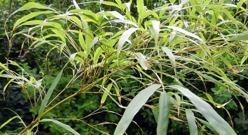 Qiongzhuea Tumidinoda - Chimonobambusa Tumidissinoda Bamboo Branches and Leaves