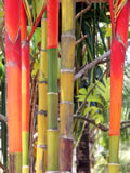 Red Bamboo plant