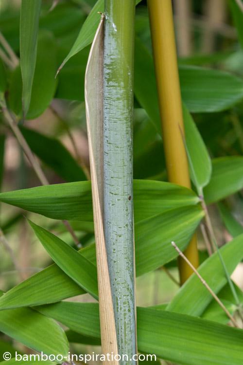 Thamnocalamus spathiflorus subsp. nepalensis clumping bamboo