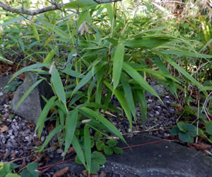 Bamboo control by cutting, growing in a rockery