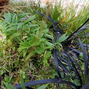 Dwarf Bamboo and Black Grass