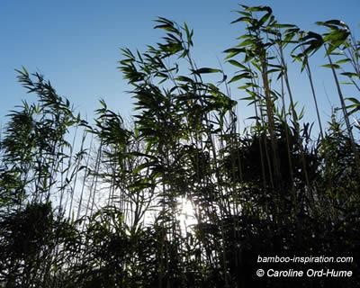 Arrow Bamboo, Pseudosasa japonica hedging along my garden boundary