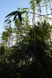 Picture of Bamboo for Hedging
