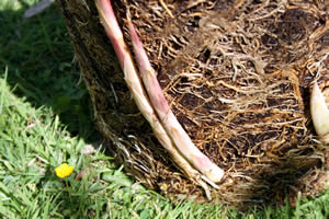 Dividing container bamboo shoots, roots, and rhizome