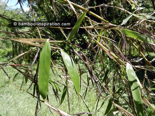 Picture of Flowering Bamboo