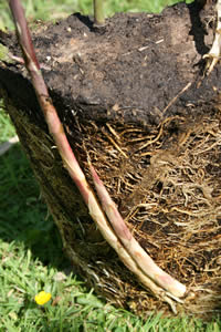 Bamboo shoots growth rate from a rhizome