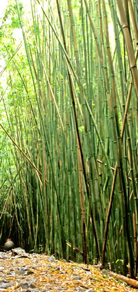 Caring For Bamboo Plants Planting And Bamboo Care Guide