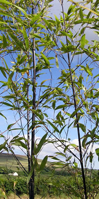 Black Bamboo Branches and Leaves - Phyllostachys nigra