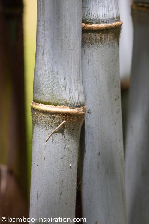 Borinda papyrifera CS1046 bamboo culms - Blue bamboo canes
