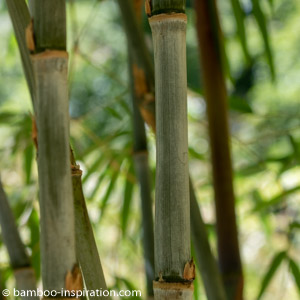 Container bamboo plant with blue bamboo canes - Borinda Species