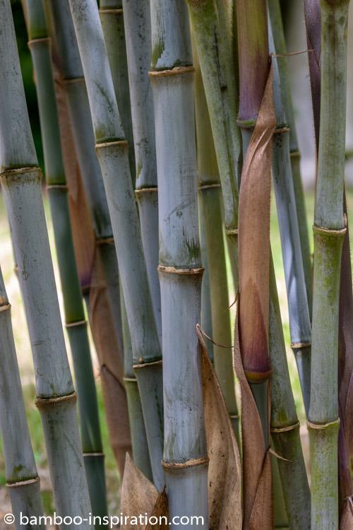 Borinda Genus bamboo culms - Blue bamboo canes