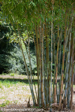 Plant bamboo species in the garden - Blue clumping bamboo plant