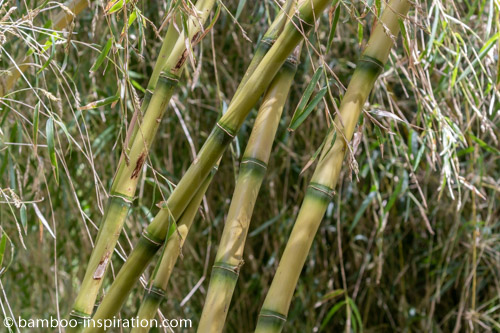 Chusquea Gigantea Bamboo Species