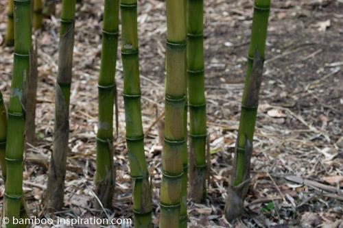 Chusquea Gigantea Big Bamboo Culms, Nodes, Sheaths