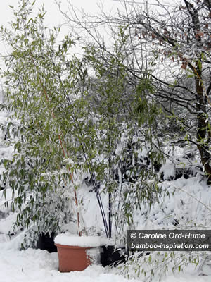 Cold Hardy Bamboo in Pots and Containers in Winter