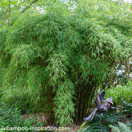 Fargesia murielae Simba Umbrella Bamboo arched canes growth clumping bamboo