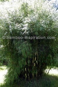 Fargesia Scabrida Asian Wonder Bamboo Branching and Leaves