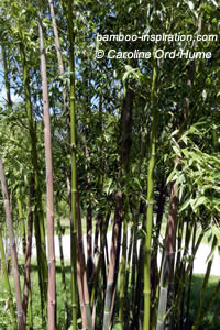 Phyllostachys parvifolia Clumping Bamboo Culms