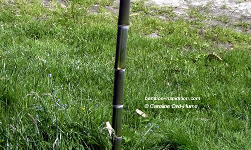 Straight Dark Green Phyllostachys parvifolia Cane