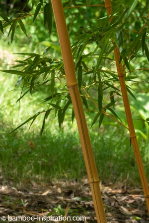 Plant big bamboo species in the garden - Yellow and green stripes vivax running bamboo plant