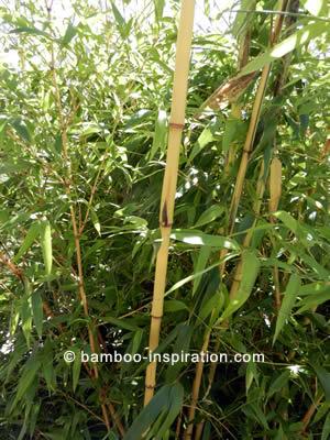 Phyllostachys vivax f. Aureocaulis bamboo, yellow canes with green stripes