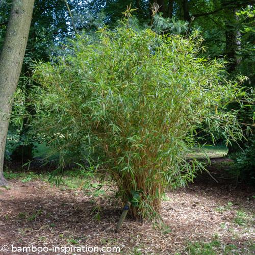 Semiarundinaria Bamboo Genera