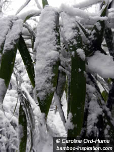 Bamboo Leaves Covered in Snow