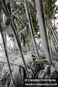 Snow and Ice on Bamboo Culms in Winter