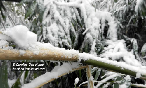 Hardy Bamboo with Winter Snow on Culm - Pseudosasa japonica