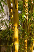 Yellow Bamboo Stalk